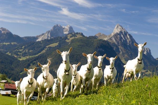 Bani pentru oi si capre de la APIA