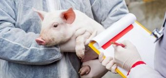 Amenzi grele – 5000 lei – pentru cei care transportă porcii fără documente legale. Acțiunile continuă…